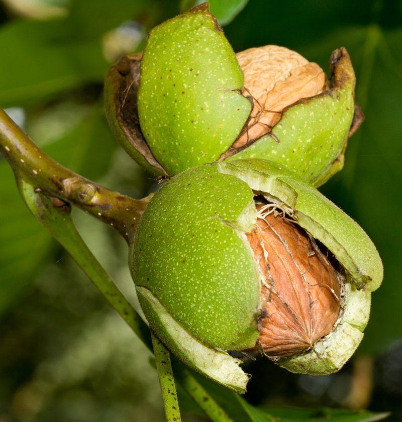 frunze si fruct de nuc nuci